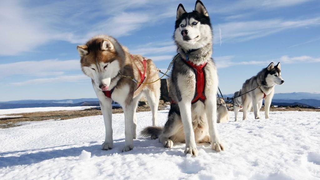 Катание на собачьих упряжках | Питомник